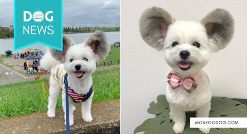 Mickey Mouse Ears On A Puppy – Meet Goma, The Cartoon Pup Who Has Been Stealing Hearts All Over The Internet