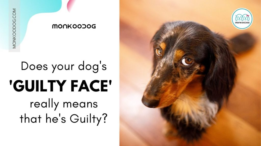 Why Do Dogs Give That Guilty Look