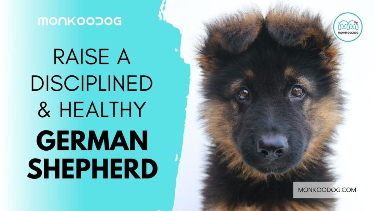 How to Raise an Obedient & Healthy German Shepherd Puppy Guide