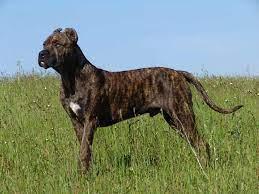 Alano Espanol Dog Breed