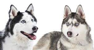 Alaskan Husky Dog Breed