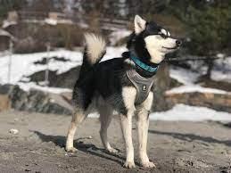 Alaskan Klee Kai Dog Breed
