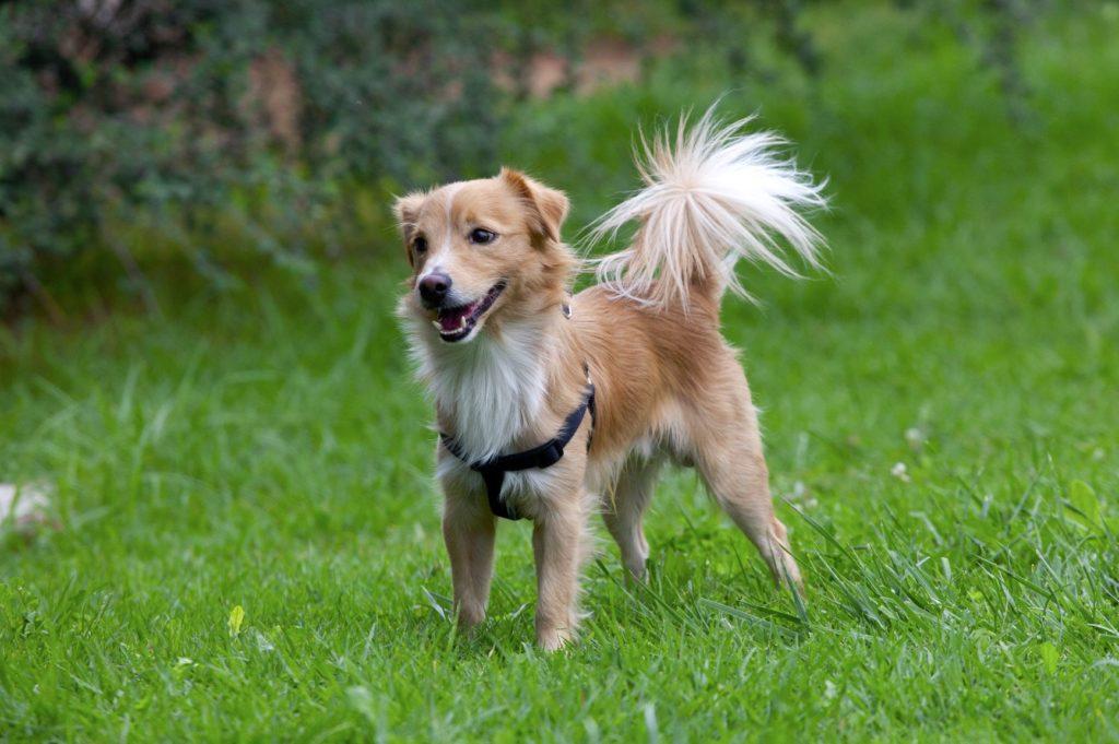 Alopekis Dog Breed
