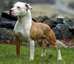 American Pit Bull Terrier Dog Breed
