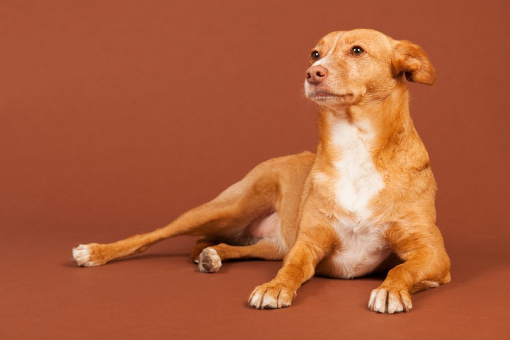 Andalusian Hound Dog Breed