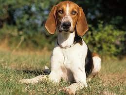 Anglo-Français de Petite Vénerie Dog Breed
