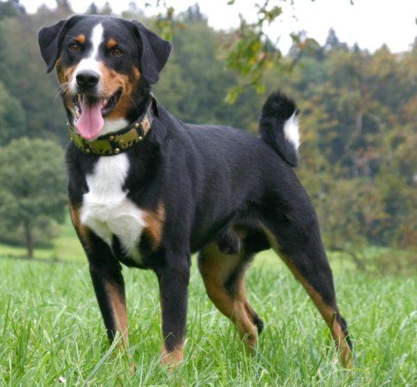 Appenzeller Sennenhund Dog Breed