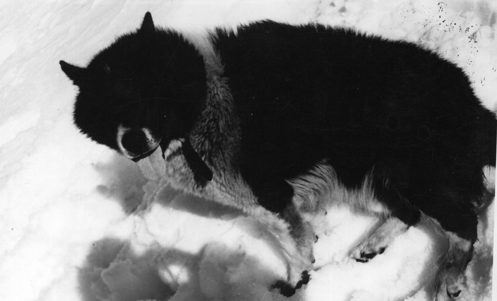 Argentine Polar Dog Breed