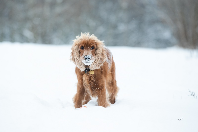 At number 10, we have Cocker Spaniels