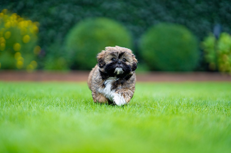 At number 2, we have the lovely and pleasant-natured Shih Tzu