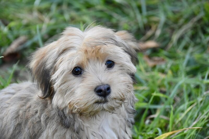 At number 3, we have the Havanese
