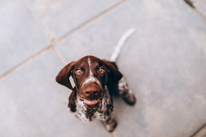 At number 9, we have the German Shorthaired Pointer