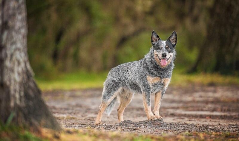 Australian Cattle Best Dog Breeds for Outdoor Junkies