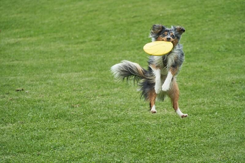 Australian Shepherd Best Dog Breeds for Outdoor Junkies