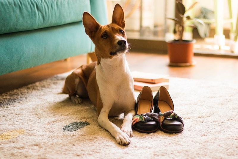 Basenji Low shedding dog breeds