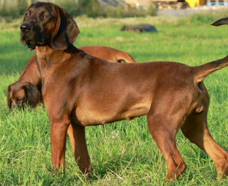 Bavarian Mountain Hound Dog Breed