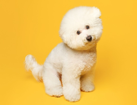 Bichon Frisé Dog breed