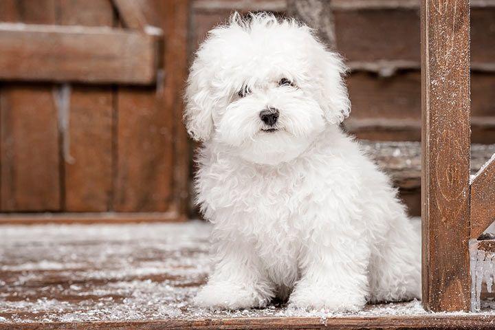 Bichon Frise Low shedding dog breeds