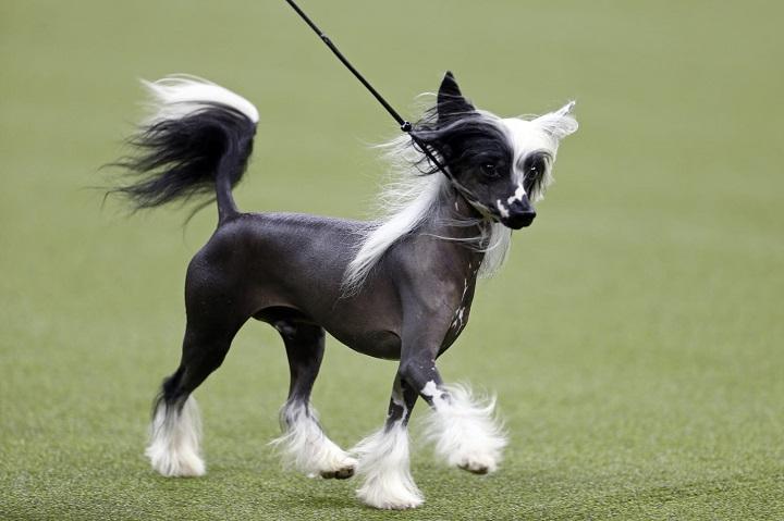 Chinese Crested Low shedding dog breeds