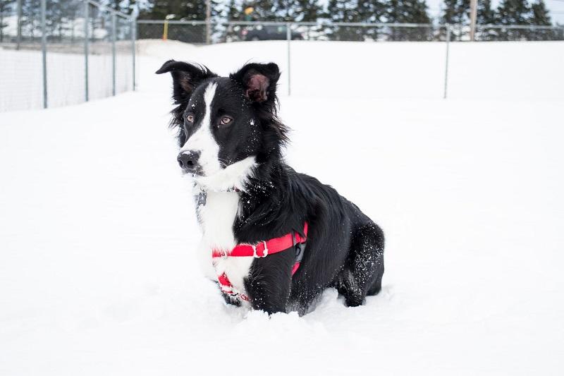 Collies Best Dog Breeds for Outdoor Junkies