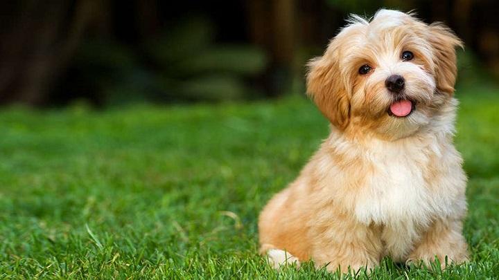 Havanese Low shedding dog breeds