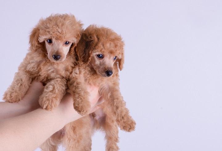 Poodle Low shedding dog breeds