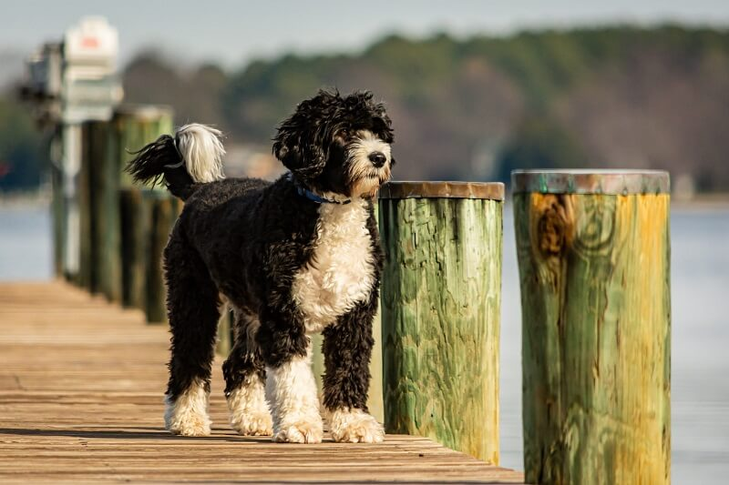Portuguese Water Best Dog Breeds for Outdoor Junkies