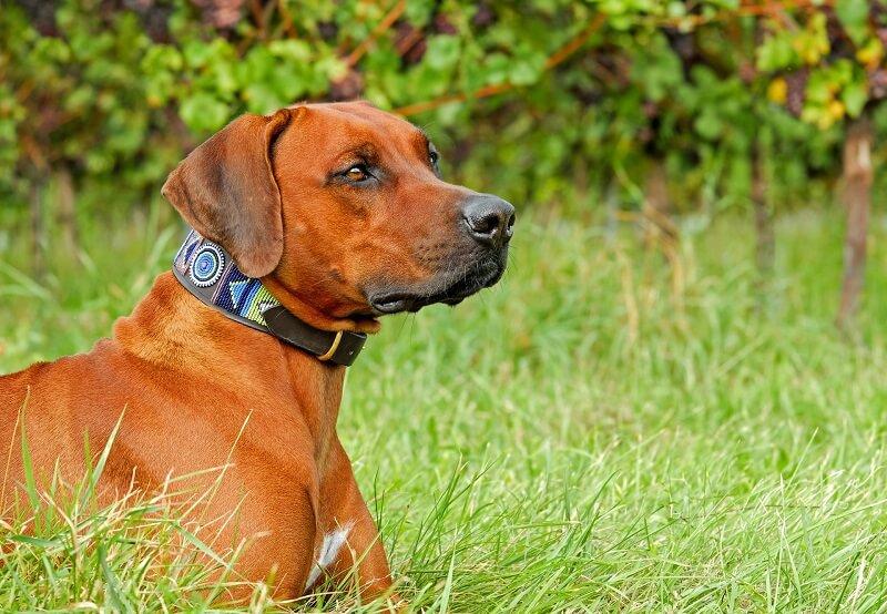 Rhodesian Ridgeback Best Dog Breeds for Outdoor Junkies