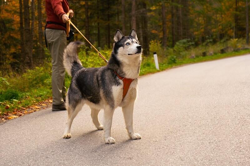 Siberian Husky Best Dog Breeds for Outdoor Junkies