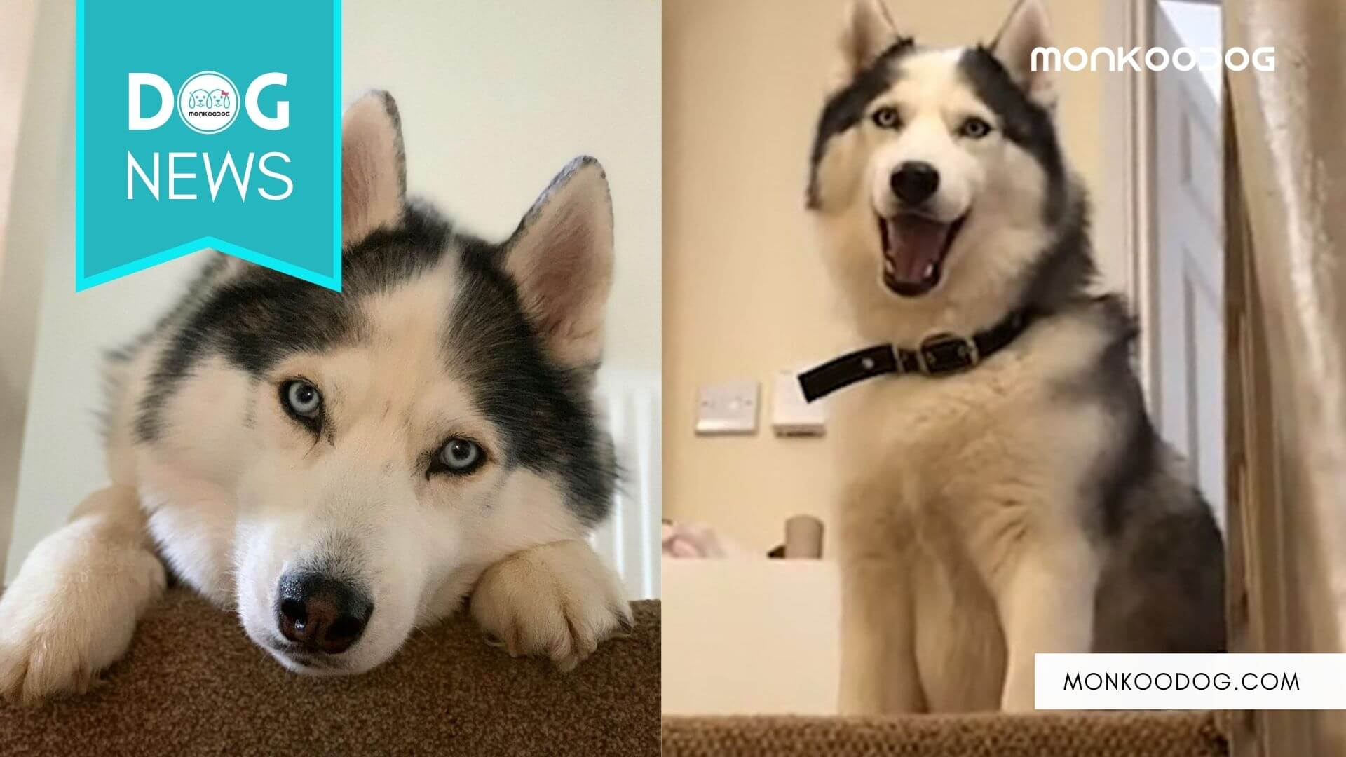 Stubborn Husky refuses to come downstairs until Bribed