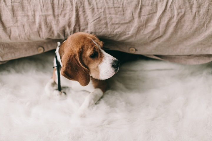 number 7 America - the Beagle