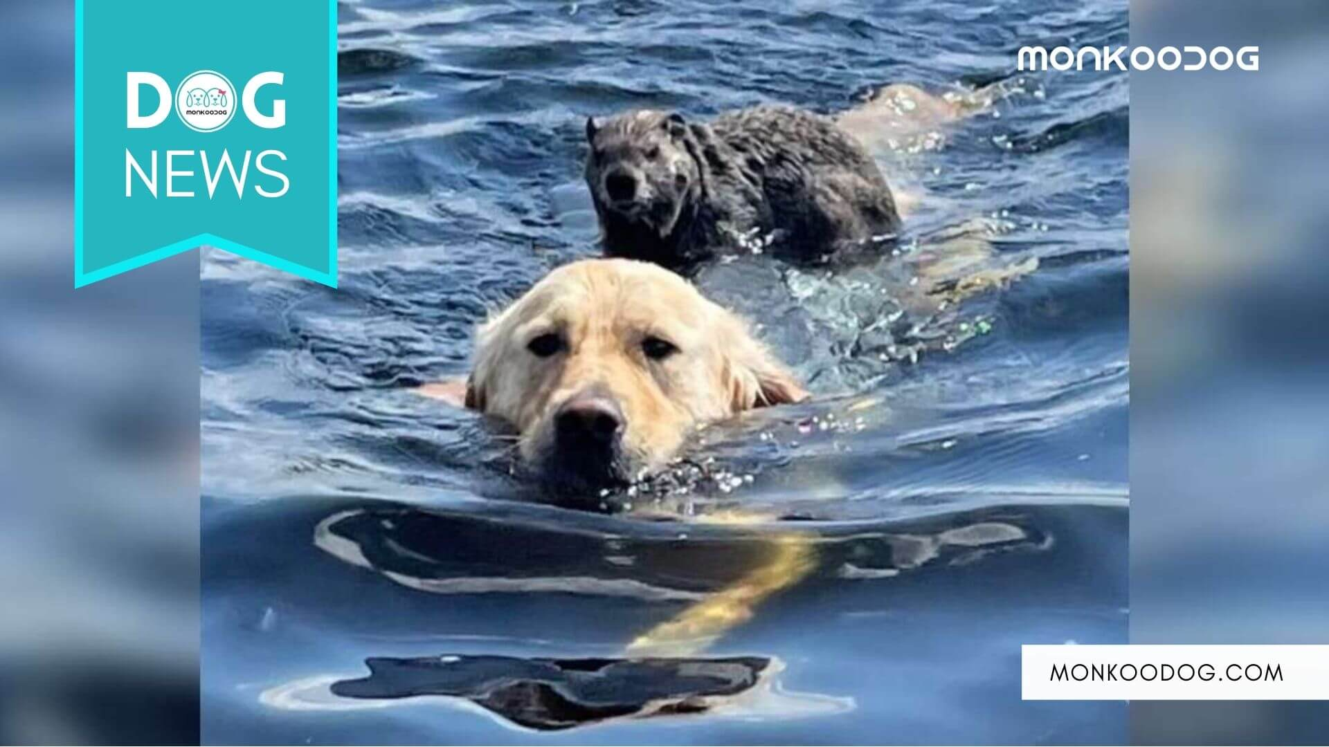 A 2-year-old Golden Retriever swims back to the shore with a woodchuck on his back.