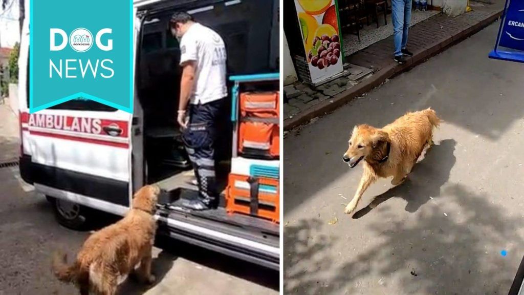 A Golden Retriever Chases The Ambulance Taking His Sick Owner To The Hospital