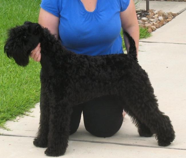 Black Russian Terrier Dog Breed