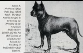Blue Paul Terrier Dog Breed