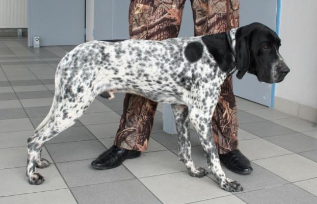 Braque d'Auvergne Dog Breed