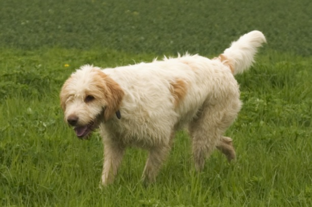 Briquet Griffon Vendéen Dog Breed