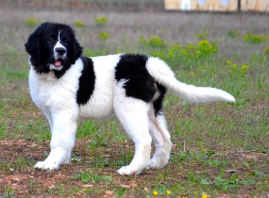 Bucovina Shepherd Dog Breed