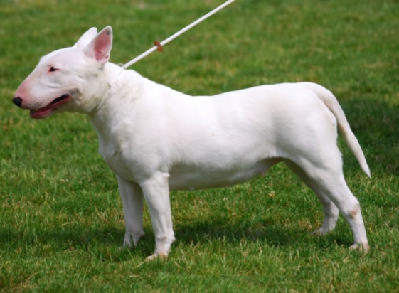 Bull Terrier Dog Breed