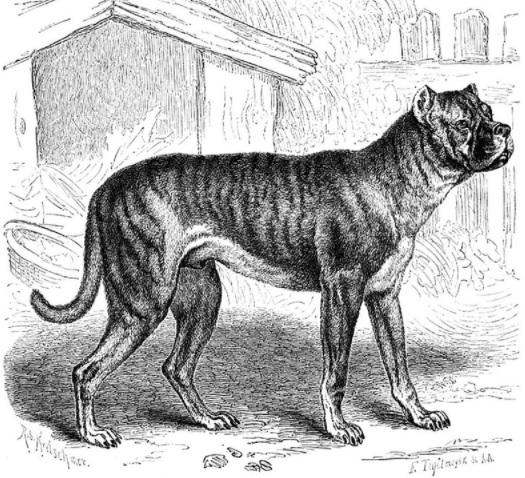 Bullenbeisser Dog Breed