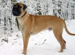 Bullmastiff Dog Breed