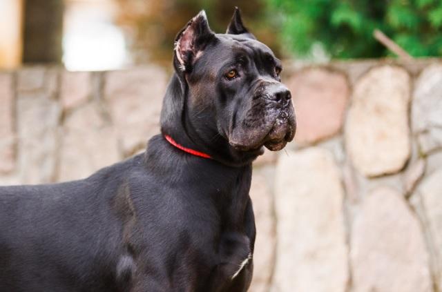Cane Corso Dog Breed