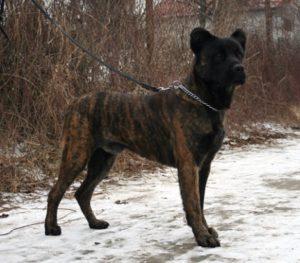 Cão Fila de São Miguel Dog Breed