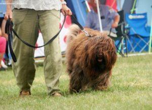 Cão da Serra de Aires Dog Breed