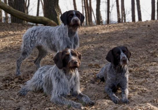 Cesky Fousek Dog Breed
