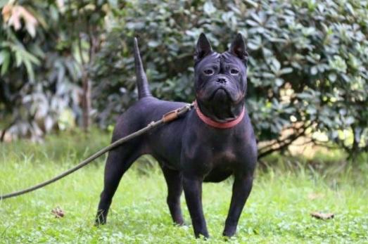 Chinese Chongqing Dog Breed