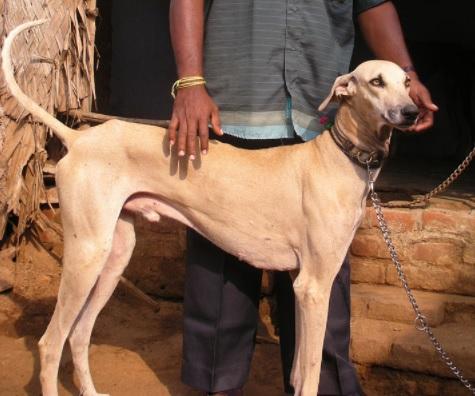 Chippiparai Dog Breed