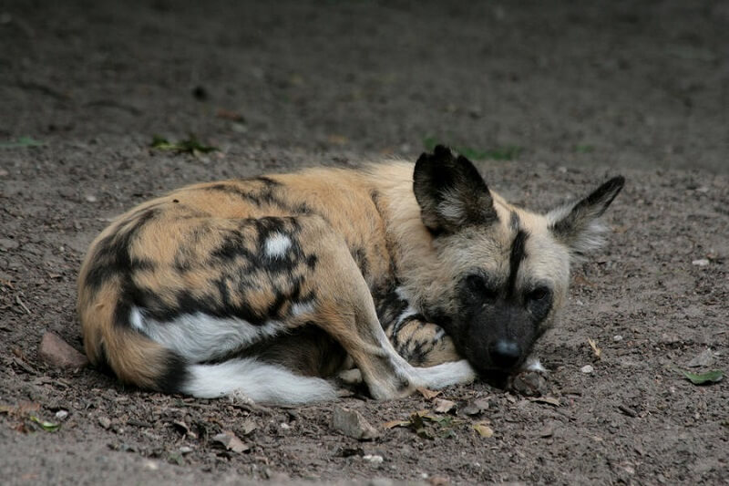 Circling Also Helps Wild Dogs Get Comfortable