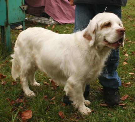 Clumber Spaniel Dog Breed