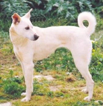 Cretan Hound Dog Breed